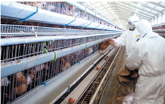 chicken farm workers in face and eye protection gathering eggs